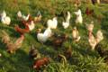 poules d'ornement de La Prairie des Vallons