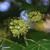 Lierre-grimpant-fleur