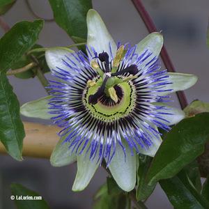 Passiflore Fleur
