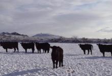 Black Angus Farm