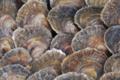 La perle des grèves,   Douzaine d'Huîtres plates n°2