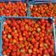 Vergers de la Justais, fraises