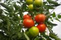 Stéphane Thomazeau, tomates rondes