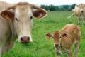 Loïc GOURHAND, viande bovine de race blonde d'aquitaine