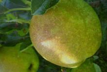 La Pomme du Coteau