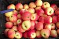 Pomme Germaine