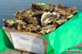 huitre creuse n°3 : huître de 66 à 85 g - 3, 4 années de pousse