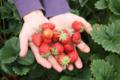 La Ferme des Champs Romet, fraises