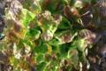 salade feuille de chêne rouge bio