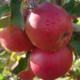 Les vergers du Fort, pommes de Savoie