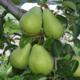 Les vergers du Fort, poires de Savoie