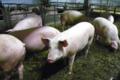 """Ferme """" Les Montagnards"""", viande de porc"""