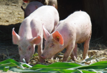 gaec Le Champenois, viande de porc