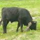 La ferme de Caroline, viande de vaches d'hérens