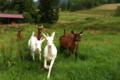 Les chèvres de l'Epine