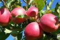 La Ferme Du Coteau, pommes bio