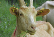 Chèvrerie du Naleu