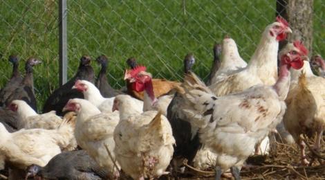 La ferme de Beaumont, volaille