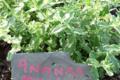 Le jardin du clos d'Allingues, menthe ananas