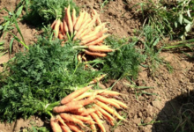 Les jardins de Salève Arbusigny, carottes botte