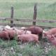 Chèvrerie de Noire Combe, porc fermier