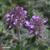 Thym-tomenteux-fleur