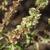 Basilic-cannelle-fruit