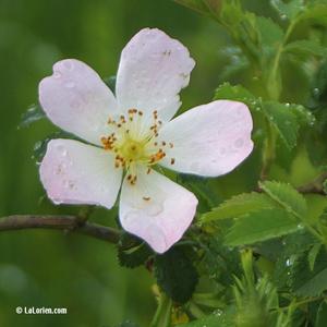 Eglantier Fleur