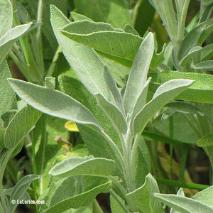 Sauge officinale Feuille