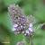 Menthe-poivree-fleur