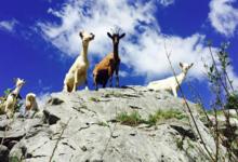 La chèvrerie des Chapieux