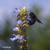 Sauge-uliginosa-et-abeille-charpentiere