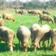 Mas De Flos, Viande d'agneau