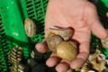 L'escargot Thuirinois, escargots