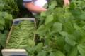 Baies Fruitet, haricots verts