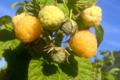 Baies Fruitet, framboises jaunes