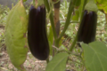 Baies Fruitet, aubergines