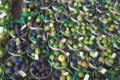 Pépinière Vessières, figues
