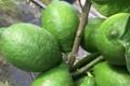 Pépinière Vessières, Citron bignette