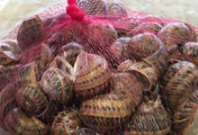 escargots de Corneilla del vercol