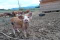 Mas Pujol, élevage porcin
