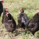 A la petite ferme, poulets noirs gascons