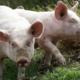 Cathy Vassail, Viande fraîche de porcs fermiers élevés en plein air