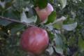Les Vergers du Mont Canigou, pommes