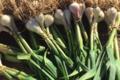 Le jardin bio de Laurie, oignon botte