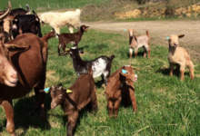 La chèvre rit