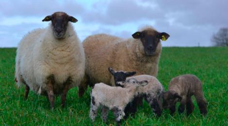 La Ferme de Cayre, agneau