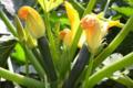 Fraîcheur des Cabanes, courgette