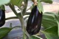 Fraîcheur des Cabanes, aubergine