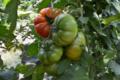 Fraîcheur des Cabanes, tomate raf